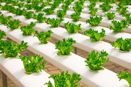 agriculture basil bunch cultivation